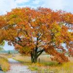 Houtzagerij Salland, eikenboom herfst