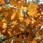 Houtzagerij Salland, eikenboom herfstblad